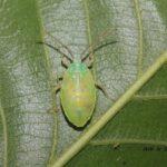 今朝の散歩中に出会った昆虫:たぶんクヌギカメムシ幼虫 2014.5.20 栃木県小山市