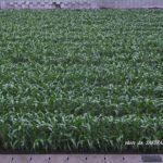 ウチの前のトウモロコシ畑 2014.5.21 栃木県小山市