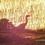 今朝の散歩中に出会った鳥:アオサギ 2014.5.22 栃木県小山市
