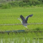 今朝の散歩中に出会った鳥:アオサギ 2014.5.24 栃木県小山市