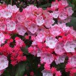 今朝の散歩中に出会った花:赤いカルミア 2014.5.24 栃木県小山市