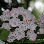 今朝の散歩中に出会った花:カルミア 2014.5.26 栃木県小山市