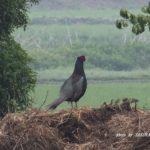 今朝の散歩中に出会った鳥:キジ 2014.5.26 栃木県小山市