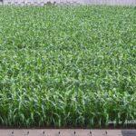 ウチの前のトウモロコシ畑 2014.5.27 栃木県小山市