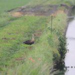 今朝の散歩中に出会った鳥:カルガモ 2014.5.28 栃木県小山市