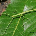 今朝の散歩中に出会った昆虫:ナナフシ幼虫 2014.5.28 栃木県小山市