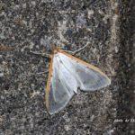 今朝の散歩中に出会った昆虫:マエアカスカシノメイガ 2014.5.30 栃木県小山市