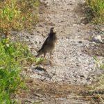 今朝の散歩中に出会った鳥:思案顔のムクドリ 2014.6.2 栃木県小山市