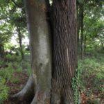 今朝の散歩中に出会った木:ケヤキとツガ 2014.6.6. 栃木県小山市