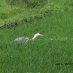 今朝の散歩中に出会った鳥:アオサギ 2014.6.9 栃木県小山市