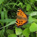 今朝の散歩中に出会った昆虫:ヒオドシチョウ 2014.6.9 栃木県小山市