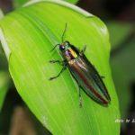 今朝の散歩中に出会った昆虫:タマムシ オス 2014.6.9 栃木県小山市
