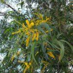 ボルネオ島で出会った花:ヤナギのような葉っぱに黄色い花 2014.4.16