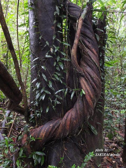絞め殺しの木