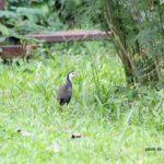 ボルネオ島で出会った鳥:シロハラクイナ 2014.2.11 コタキナバル