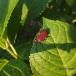 今朝の散歩中に出会った昆虫:アカハネムシ 2014.4.25 栃木県小山市