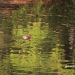 今朝の散歩中に出会った鳥:カイツブリ 2014.4.25 栃木県小山市