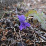 今朝の散歩中に出会った花:スミレの一種 2014.4.25 栃木県小山市