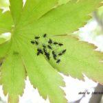 今朝の散歩中に出会った昆虫:テントウムシの孵化 2014.4.28 栃木県小山市