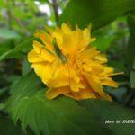 今朝の散歩中に出会った花と虫:ヤエヤマブキとヤブキリ幼虫 2014.4.29 栃木県小山市