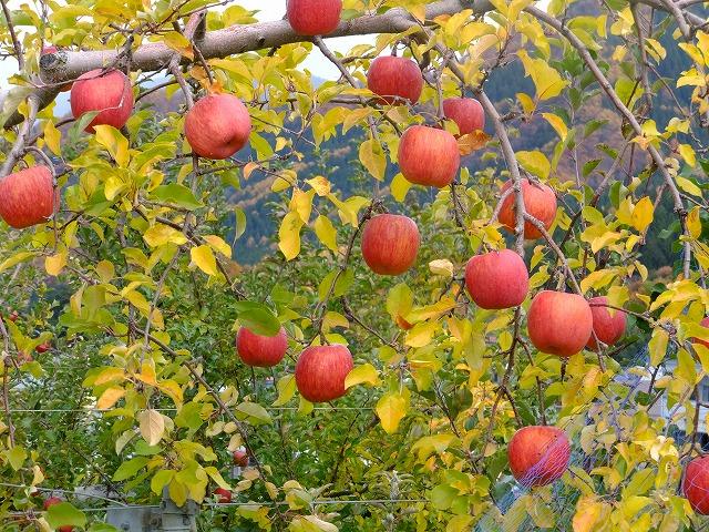 収穫前のりんご 長野県山ノ内町