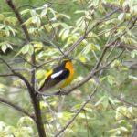 キビタキ 撮れたよ 信州の野鳥