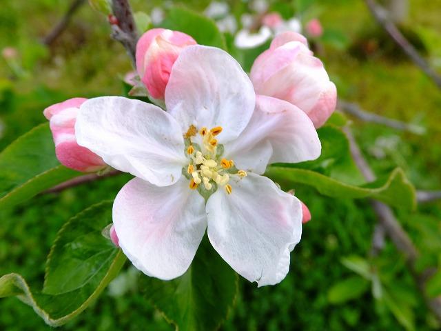 りんごの花、シナノスイート 20210501